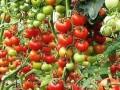 organic-vegetable-contract-farming-herbal-medicinal-plants-distributor-in-madhya-pradesh-chattisgarh-dwarkapati-agri-trade-pvt-ltd-small-5
