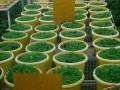 organic-vegetable-contract-farming-herbal-medicinal-plants-distributor-in-madhya-pradesh-chattisgarh-dwarkapati-agri-trade-pvt-ltd-small-2